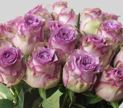 Dolcetto - für Tischdekorationen in Fliederfarben die Rose überhaupt.....