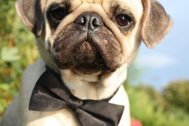 Sesión de foto de boda con perro usando un elegante moñito en color negro
