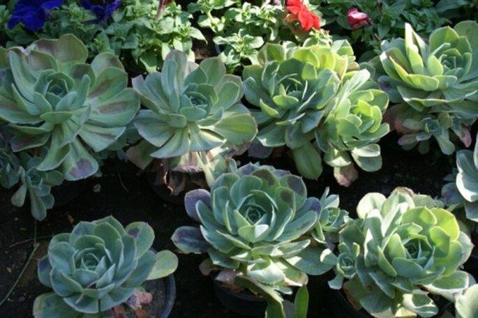 Macetas con plantas Echegaray - Foto: Vivero Forestal Encanto
