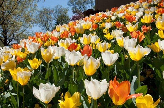 Conforma tu ramo de novia con tulipanes.  Foto: Loren Sztajer