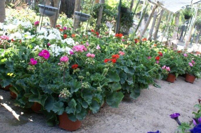 Flores Malva en una maceta - Foto: Vivero Forestal Encanto
