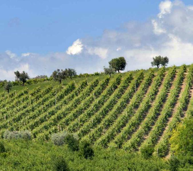 Le viti del Castello di Semivicoli