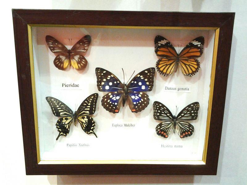 Cuadro vintage con cinco mariposas disecadas.