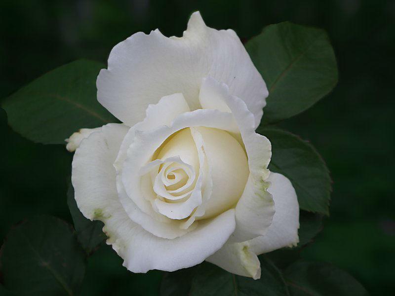 Beispiel: Rose, Foto: Internet.