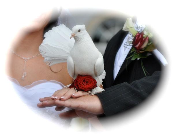 Beispiel: Dressierte Pfauentauben, Foto: Hochzeitstauben Dresden®.