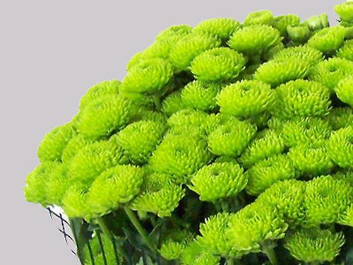 Chrysanthemen - in vielen Farben und Formen die richtige Beimischung für Ihre Tischdekoration