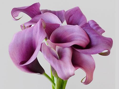 Die besondere Calla für die Deko Ihrer Hochzeit