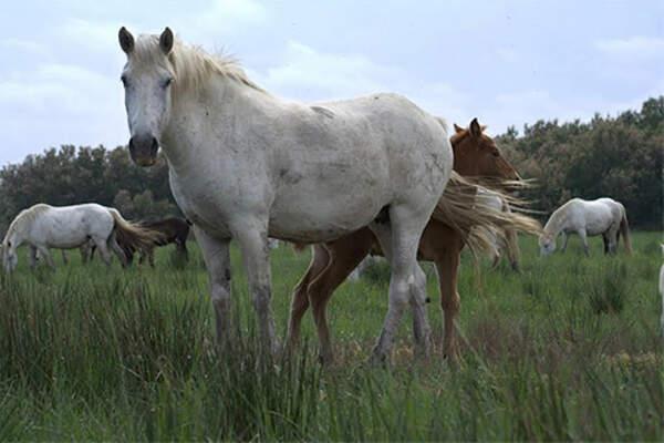 Manade Blanc