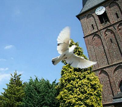 Beispiel: Fliegende weisse Taube, Foto: Hochzeitstauben Schleuter.