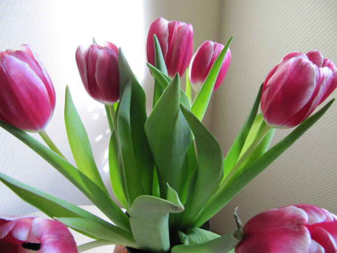 Tulpen sind keine typischen Blumen für Ihre Hochzeitsdekoration, dabei eignen sie sich hervorragend. Foto: Mariona Heidemann-Grimm / pixelio.de