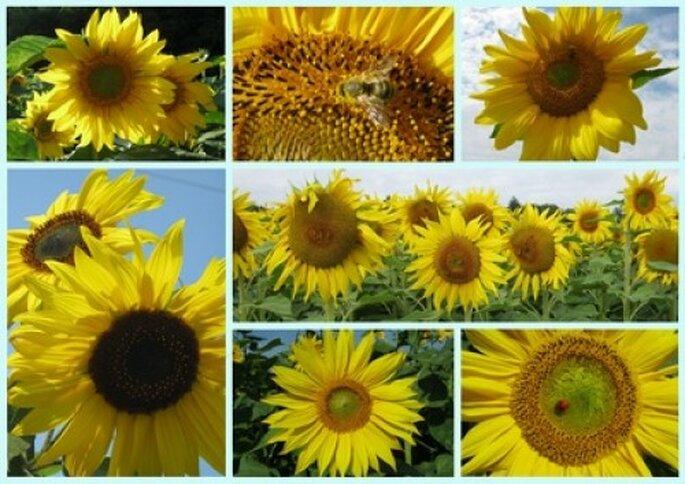 Sonnenblumen für die Hochzeitsdekoration einsetzen - Foto: lillysmum_pixelio.de