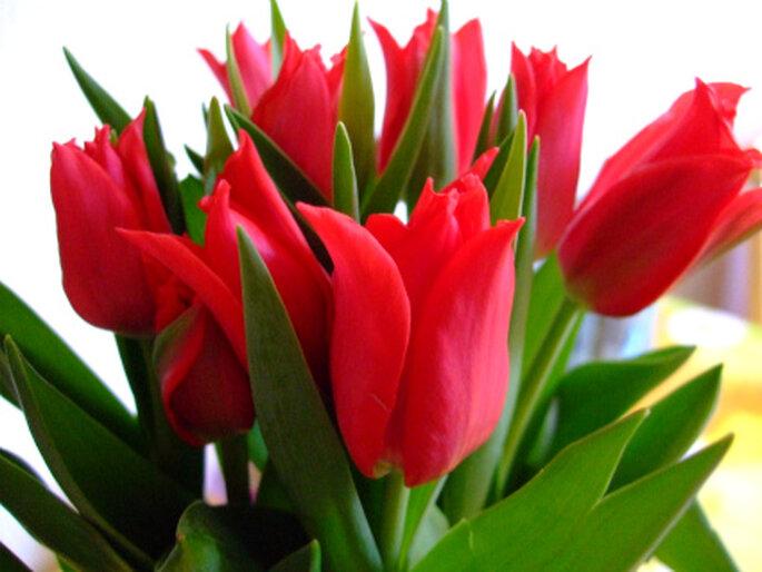 Tulpen in Rot, perfekt geeignet für Ihren Brautstrauss. Foto: Betty / pixelio.de