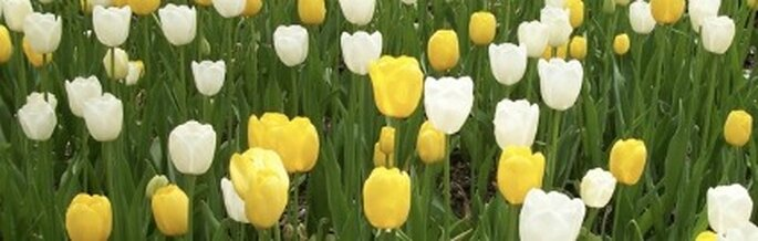 Il tulipano, il fiore preferito di Barbara