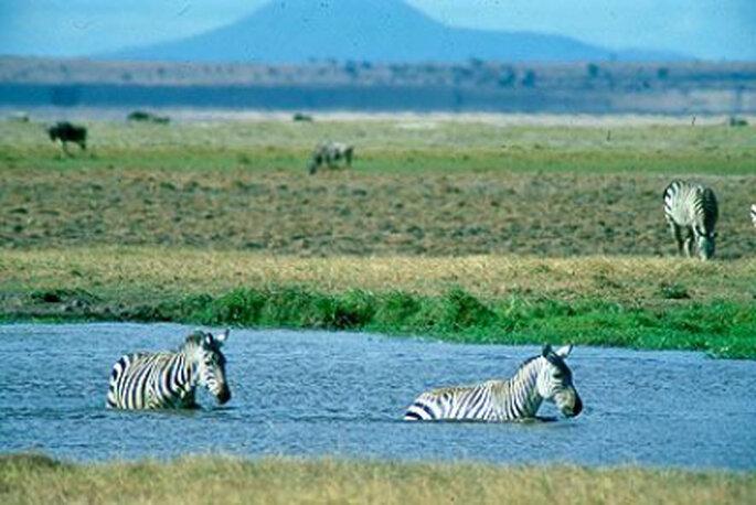 Dos cebras disfrutando un baño en el Parque Nacional de Amboseli con el Kilimanjaro enmarcando el paisaje.