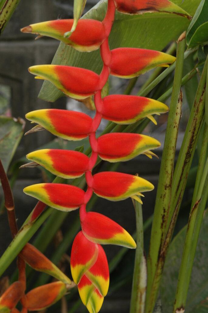 Photo : Kenpei. Fleurs Heliconia