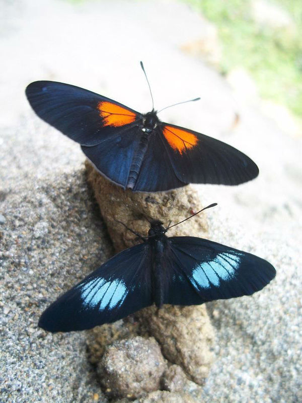 Alas de Colombia - Mariposas