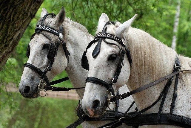 Beispiel: Pferde, Foto: Wilhelm Schuh Hochzeits- und Kutschfahrten.