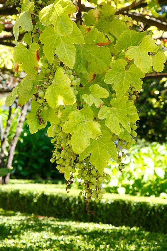 Racimos de uvas en formación
