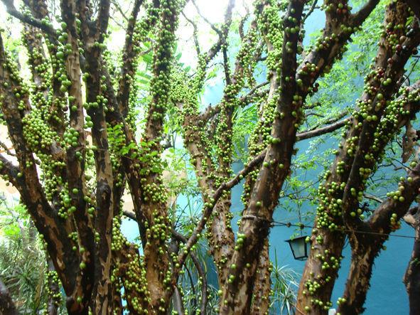 Jabuticabeira verde