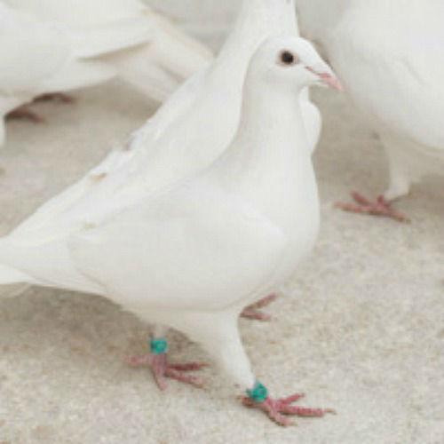 Zwei weisse Tauben