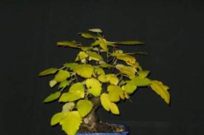 Arbole Bonsai