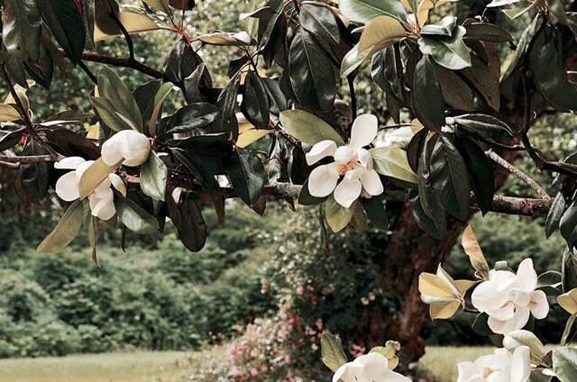 Saint Magnolia